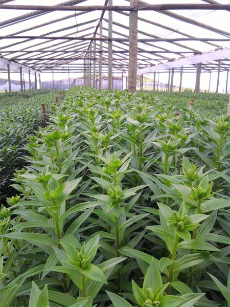 flores lilium en producción