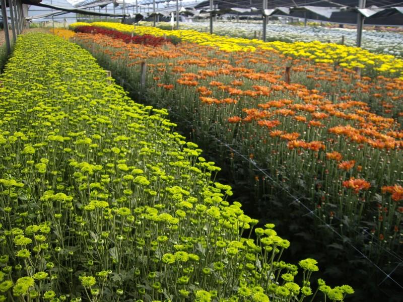 Producción Nacional de Crisantemo