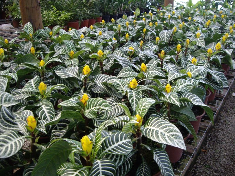 Plantas importadas por Flores Musacco