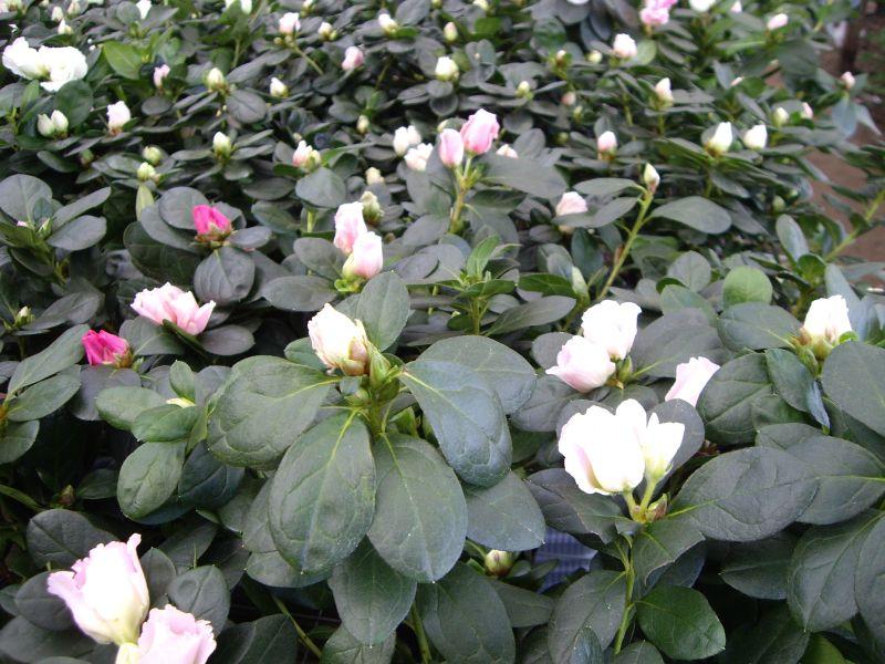 Azalea, planta Importada por Flores Musacco