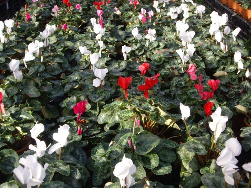 Plantas de Flores Musacco