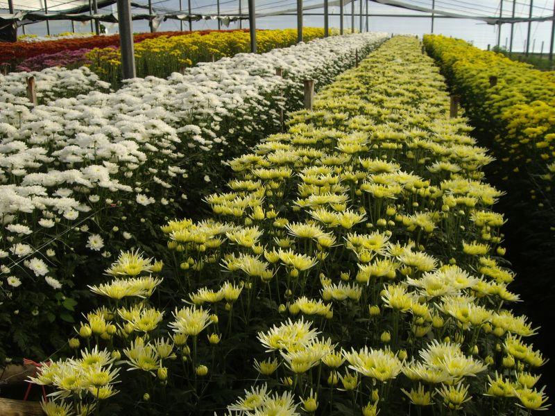 Gran cantidad y variedad de Crisantemos en Flores Musacco