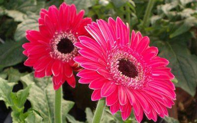 gerberas fucsia flores