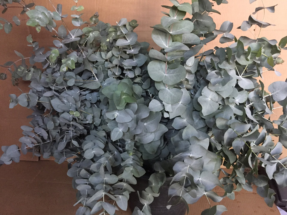 Eucaliptus-2-720