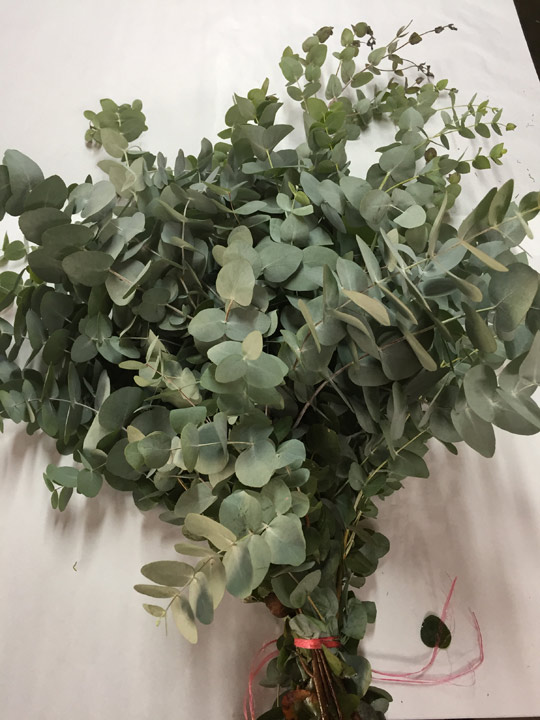 Eucaliptus-720