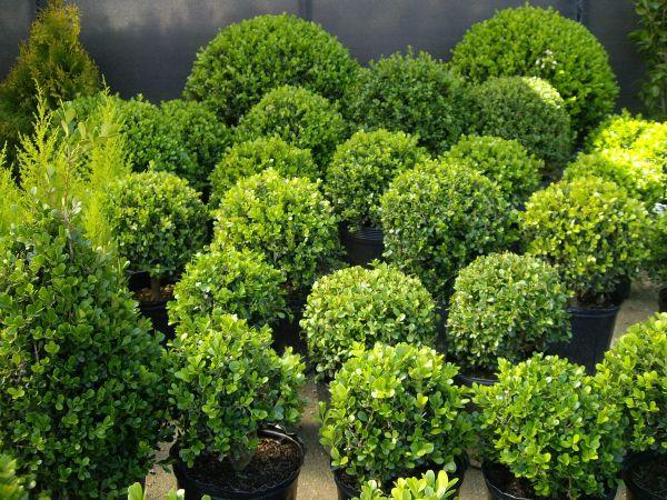 Plantas boj flores musacco for Flores de jardin exterior